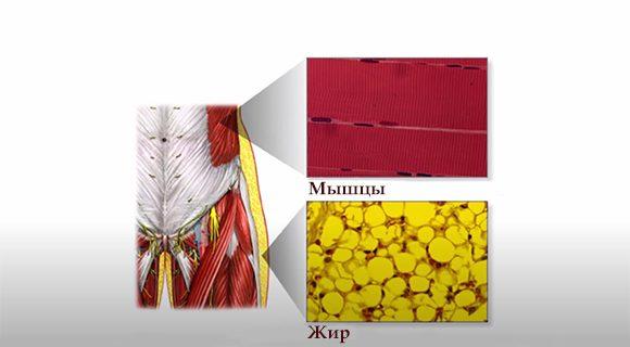 мышечная и жировая ткань